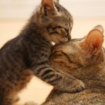 kitten-love-his-mother-kiss-head-wide-hd-wallpaper